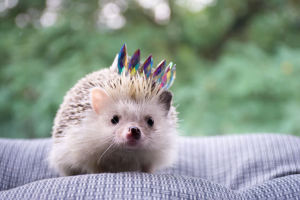 hedgehog cute pic